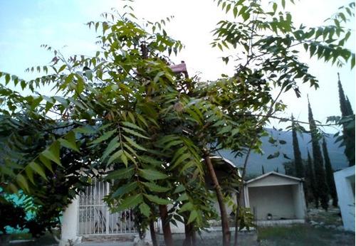 1 arbol de neem o nim azadirachta indica en for Arbol comun