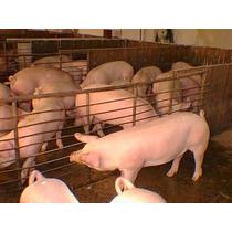 Corrida Financiera Para Proyecto De Engorda De Cerdos