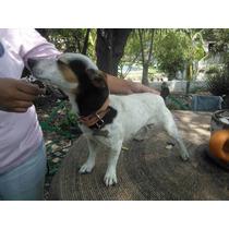 Jack Rusell Terrier, Para Semental