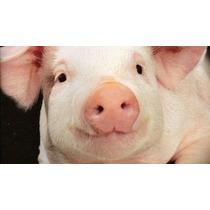 Animales Porcinos Puercos En Pie Cerdos Comestibles Carne