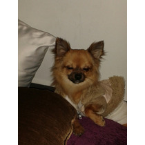 Perro Chihuahua En Renta Para Monta