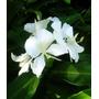 Flor Mariposa Hedichium Coronarium Rizoma