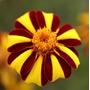 Marygold Harlequin 10 Semillas Flores Jard�n Planta Sdqro