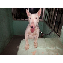 Bull Terrier Ingles Semental, Cruza, Monta. Con Pedigree