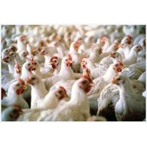 Inicia Negocio Con Una Granja Avícola