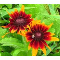 Rudbeckia Red Sport 20 Semillas Flor Jardín Planta Sdqro