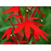 Lobelia Red Cardinal 15 Semillas Flor Jardín Planta Sdqro