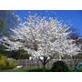 Semillas Sakura Serrulata Yoshino Cherry Arbol Plantas