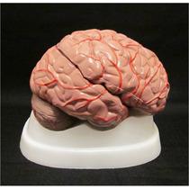Cerebro Humano Modelo Anatomico Desarmable Vv4