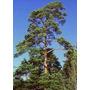 25 Semillas De Pinus Sylvestris (pino Silvestre) Codigo 947