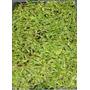 Semillas De Pasto De Pennisetum Clandestinum (kikuyu) C. 87