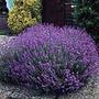 50 Semillas De Lavanda Angustifolia (lavanda) Codigo 586