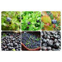 15 Semillas De Vaccinium Corymbosum - Blue Berry Codigo 965