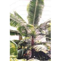 5 Semillas De Dypsis Lastelliana - Palma Cuello Rojo 1332