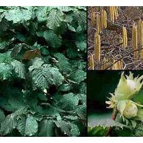 10 Semillas De Corylus Avellana Laciniata - Avellana
