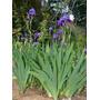 26 Semillas De Iris Germanica (iris O Lirio) Codigo 580