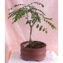 10 Semillas De Sophora Japonica (arbol De Las Pagodas)