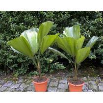 10 Semillas De Licuala Grandis (palma Totuma) Codigo 1337