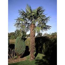 12 Semillas De Trachycarpus Fortunei - Palma Excelsa Cod1346
