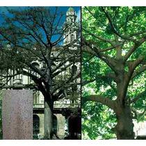 5 Semillas De Ceiba Pentandra - Arbol Del Algodon Codigo 879