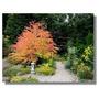 30 Semillas Katsura Ornamental Arbol Jardin Vbf
