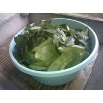 Hojas Organicas De Guanabana Tropical