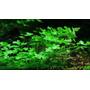 Planta De Acuario Tapizante Hydrocotile Exelente Raiz Tablet