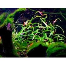 Poligonum Planta De Acuario Estanque Florea Afuera Grande