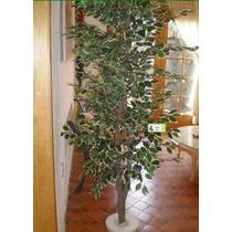 Arbol Ficus