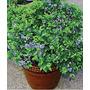 50 Semillas Arándano Azul Blueberry Vaccinum Huerto Jardines