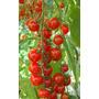 50 Semillas Tomate Jitomate Cherry Lycopersicon Huerto Vbf