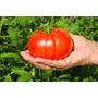 50 Semillas Tomate Jitomate Beefsteak Hortaliza Huerto Vbf