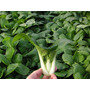 50 Semillas Pak Choi Repollo Chino Vegetal Huerto Jardin Vbf