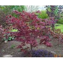10 Semillas De Acer Palmatum Atropurpureum - Arce Enano C862