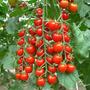 50 Semillas Jitomate Tomate Cherry Grande Huerto Vbf