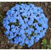 Agerato Azul 10 Semillas Flor Jardín Planta Sdqro