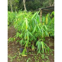 Planta Bambu Dendrocalamus Giganteus