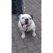 Bulldog Ingles Cruza