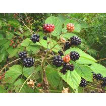 20 Semillas Blackberry Frambuesa Arbusto Jardin