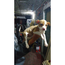 Cachorros American Pitbull Terrier