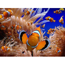 Peces Marinos Payaso Nemo Percula De Criadero 100% Sanos