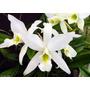 Venta De Orquídeas Laelia Anceps Alba