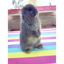 Conejos Holland Lop Y Mas