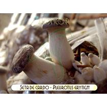 Micelio Hongo Seta Cardo (pleurotus Eryngii)