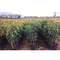 Plantas De Aguacate En Guadalajara