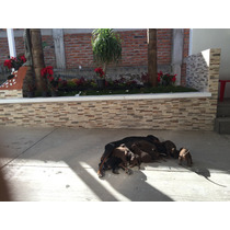 Hermosos Cachorros Doberman Original Sepia Y Golondrinos !!!