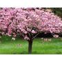 Semillas Cerezo Japones Prunus Serrulata Sakura Blossom Rosa