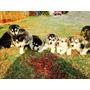 Husky Hermosos Cachorros Siberiano