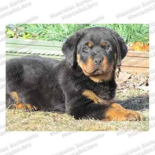 Gran Oferta Cachorros Rottweiler Alemanes Seguridad Cpr Fcm
