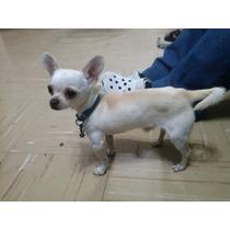 Hermoso Semental Chihuahua Blanco Renta Para Cruza